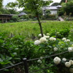 梅雨の季節の花